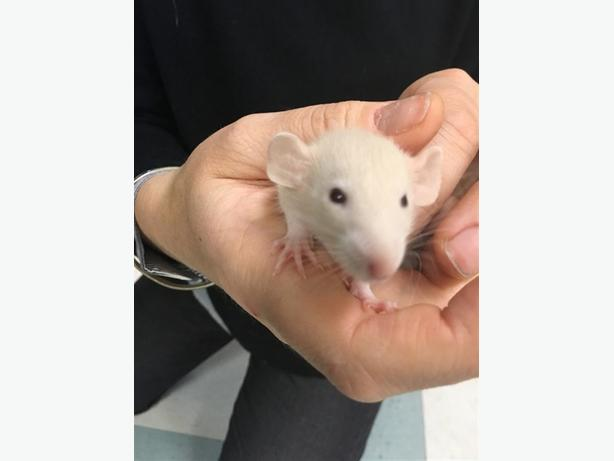 Sebastian - Rat Small Animal
