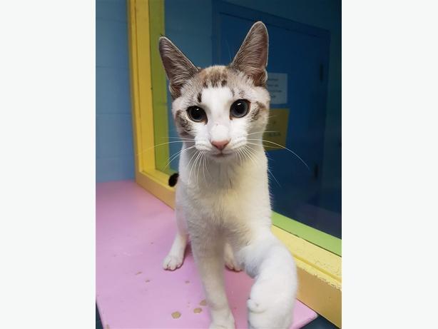 Forrest - Siamese Cat