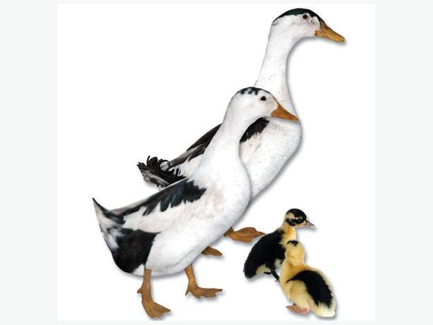 Pair of Magpie Ducks Cowichan Bay, Cowichan