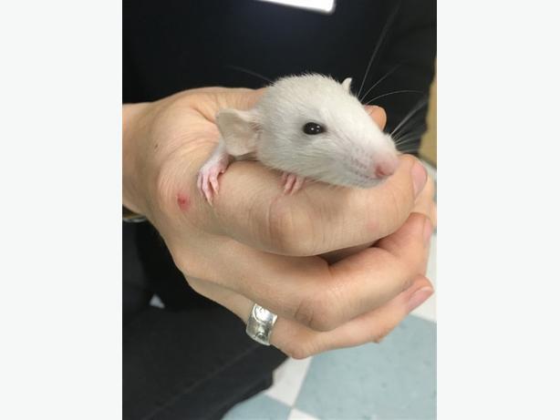 Abu - Rat Small Animal