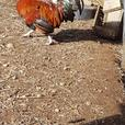 FREE: Pure breed Wheaton Amerucana rooster