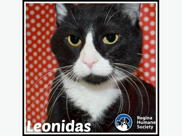 Leonidas* - Domestic Short Hair Cat