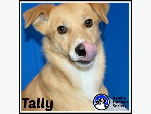 Tally - Shiba Inu Dog North Regina, Regina - MOBILE