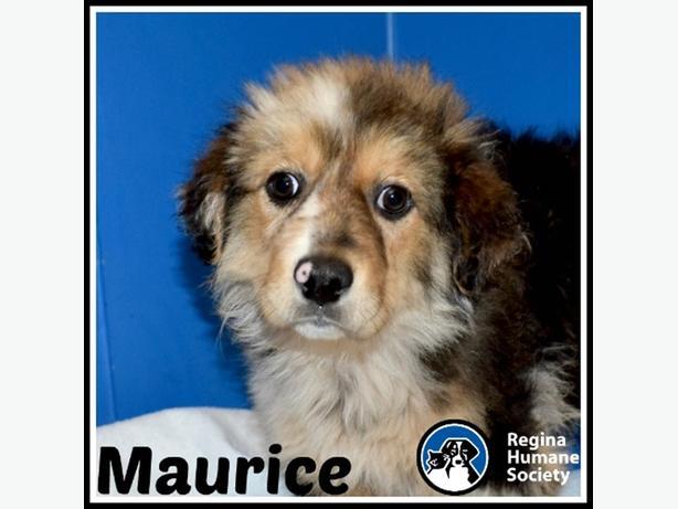 Maurice* - Bernese Mountain Dog Puppy North Regina, Regina