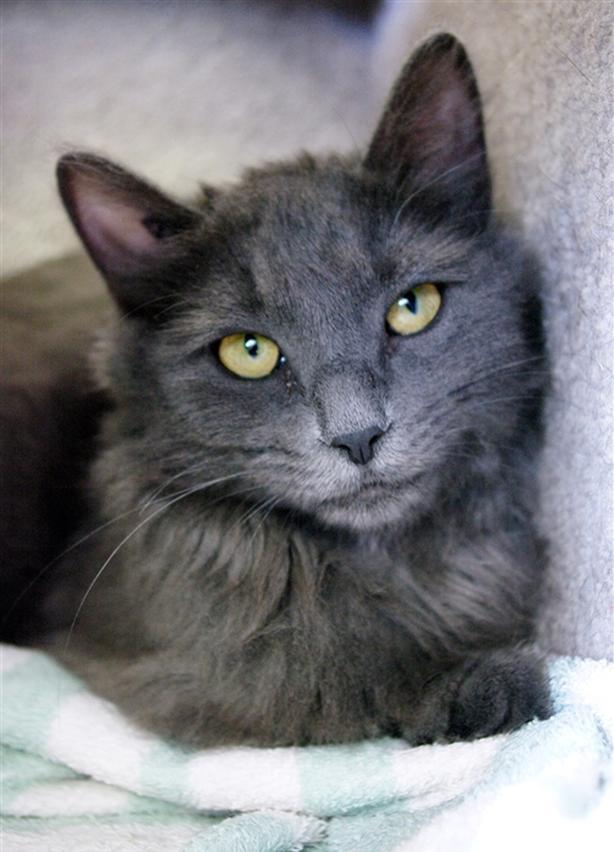 Naomi - Domestic Medium Hair Cat
