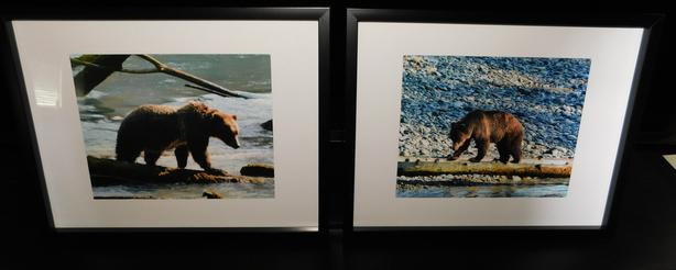 Grizzly Framed Prints