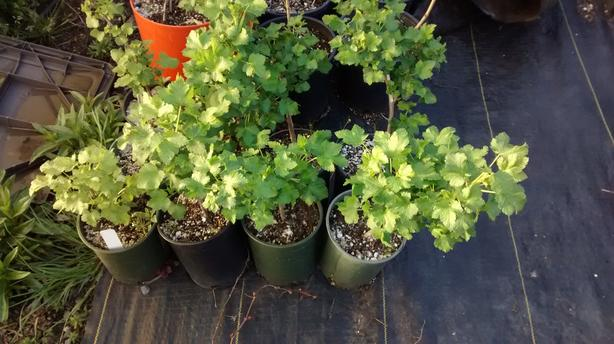 Josta Berry Plants