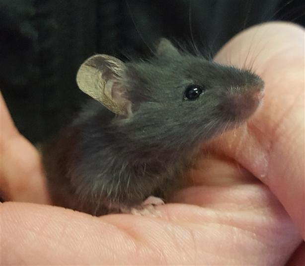 Mr. Jingles - Mouse Small Animal