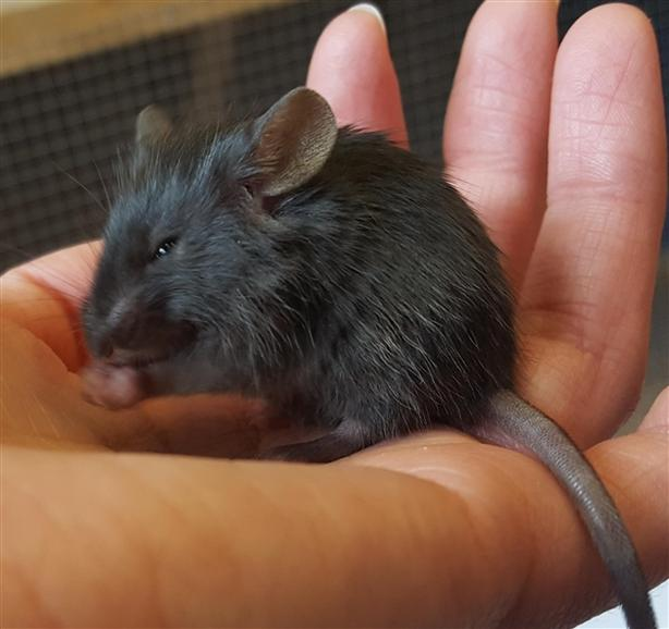 Nellie - Mouse Small Animal