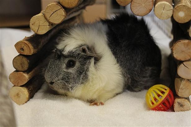 Felfel - Guinea Pig Small Animal