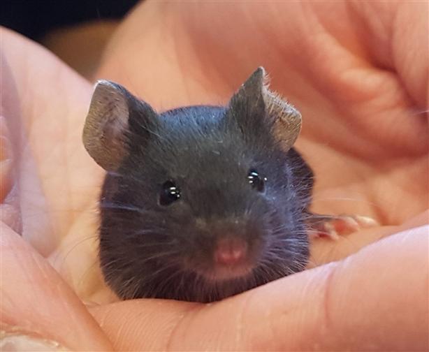 Bo - Mouse Small Animal