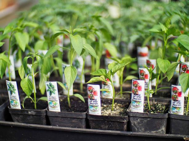 Plant Starts! Tomatoes! Peppers! More! (Salt Spring Island)