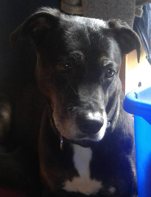 Lua - Labrador Retriever Dog