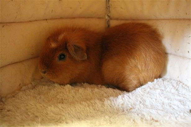 Brownie - Guinea Pig Small Animal