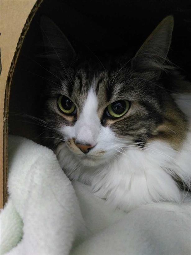 Kitty Soft Paws - Domestic Medium Hair Cat