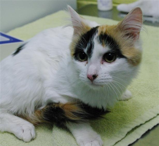 Gamora - Domestic Medium Hair Kitten