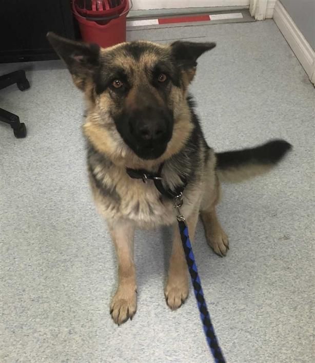 Roxy - German Shepherd Dog