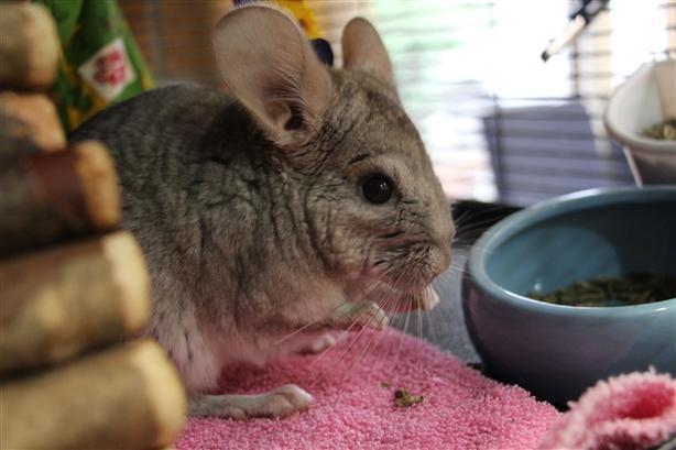 Stitch - Chinchilla Small Animal - Exotic