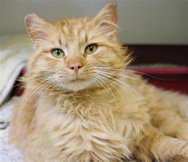 Tom - Domestic Medium Hair Cat