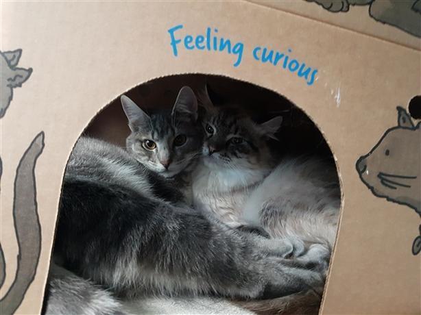 Amiel - Domestic Medium Hair Cat