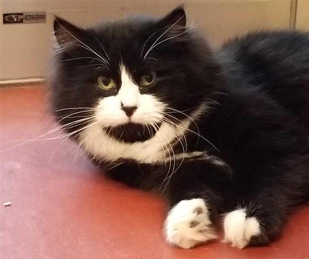 Lucas @ Catfe - Domestic Longhair Cat