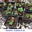 Strawberry Plants - June Bearing