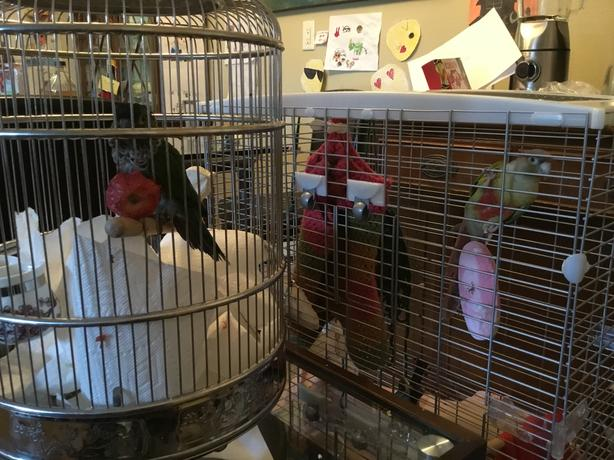 2 Conure birds & 2 large cages