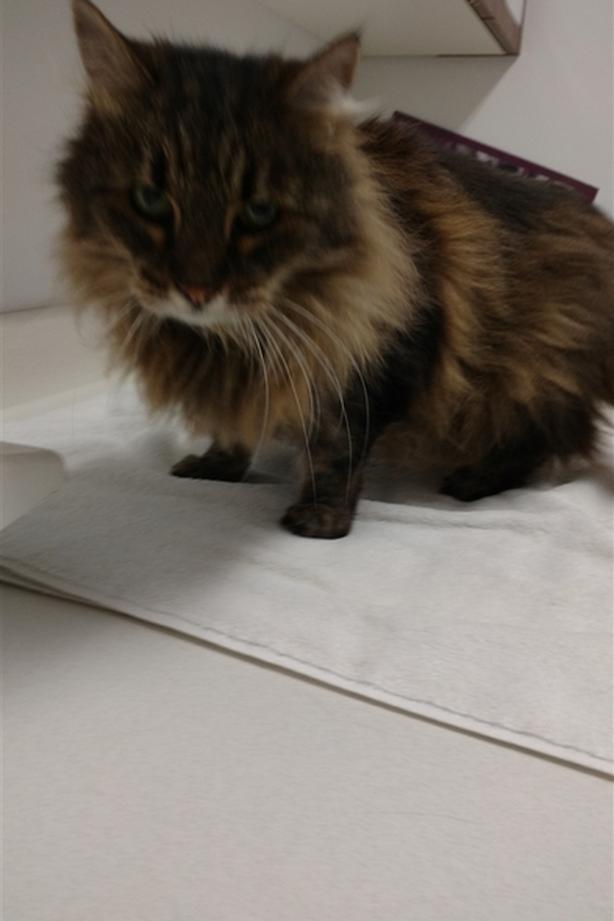 Maggie - Domestic Longhair Cat
