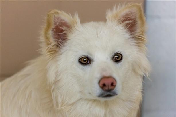 Sharon - American Eskimo Dog