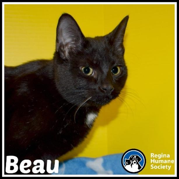 Beau* - Domestic Short Hair Cat