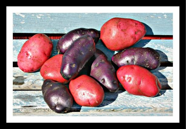 SEED POTATOES, unusual varieties, limited, available NOW