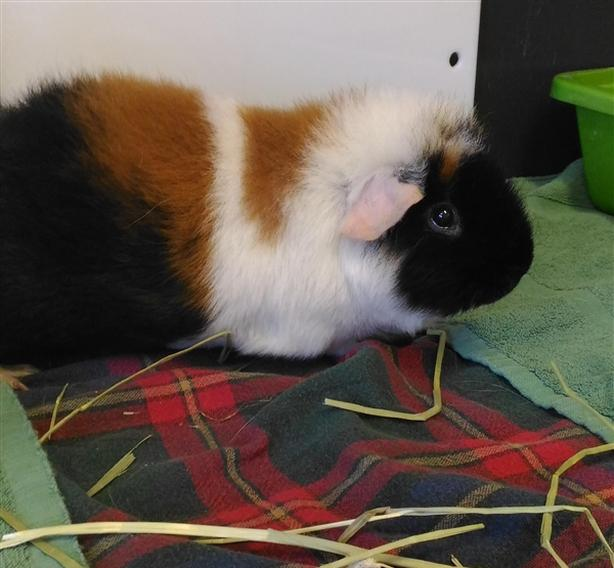 Flash - Guinea Pig Small Animal