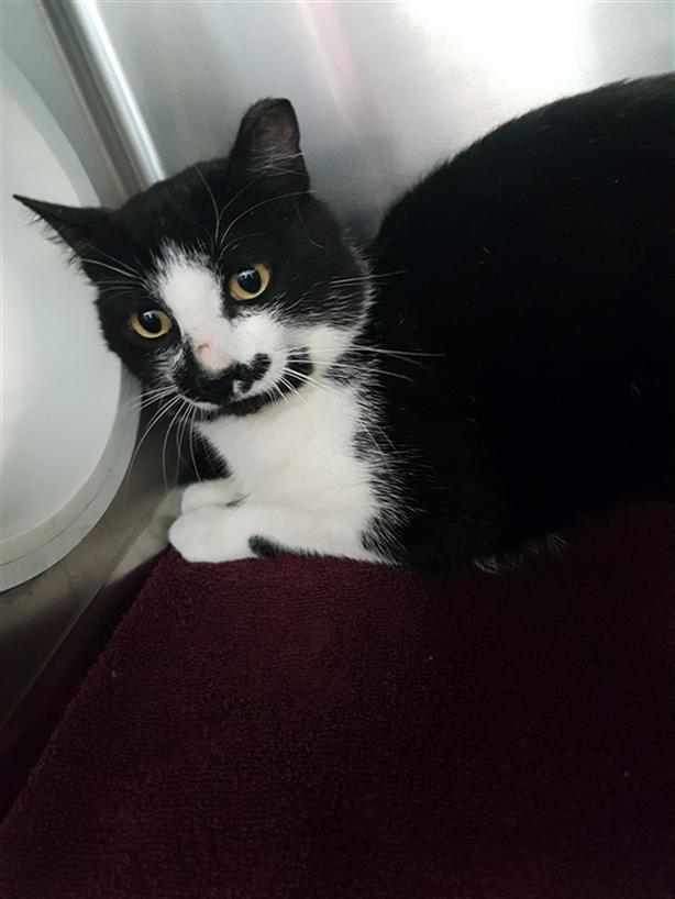 Jeeves - Domestic Short Hair Cat