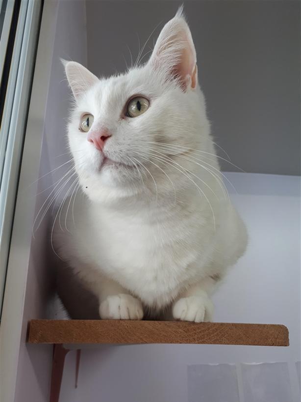 Shady - Domestic Short Hair Cat