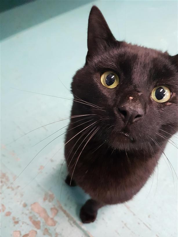 Hurst - Domestic Short Hair Cat