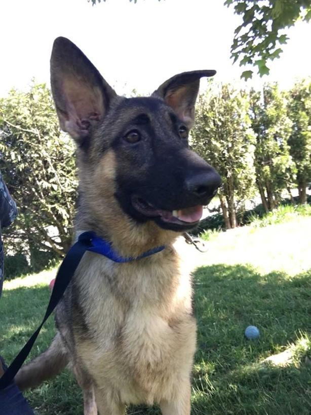 Betty - German Shepherd Dog