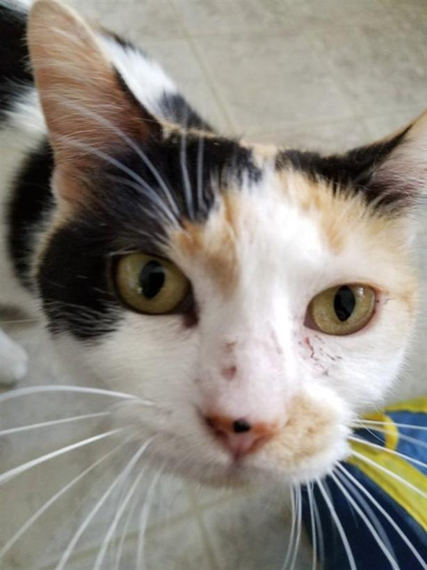 Jazmine - Domestic Short Hair Cat