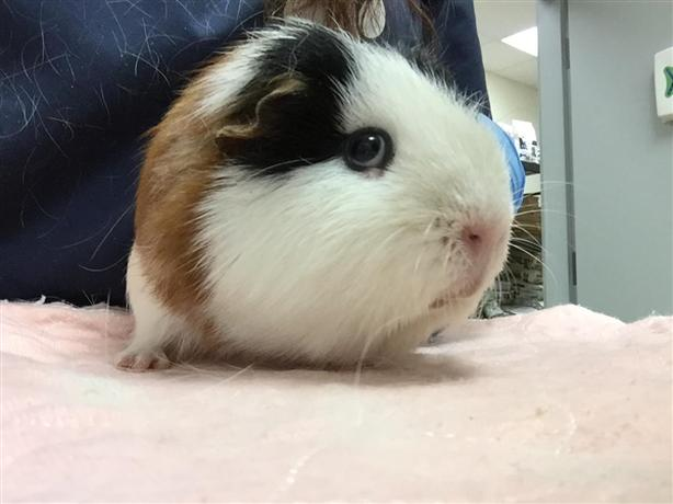 Copper - Guinea Pig Small Animal