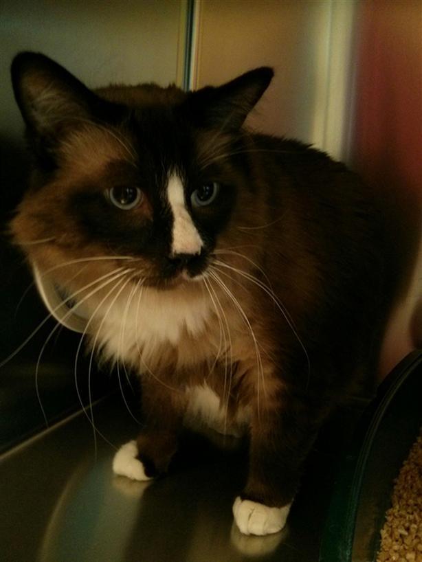 Trunks - Domestic Longhair Cat