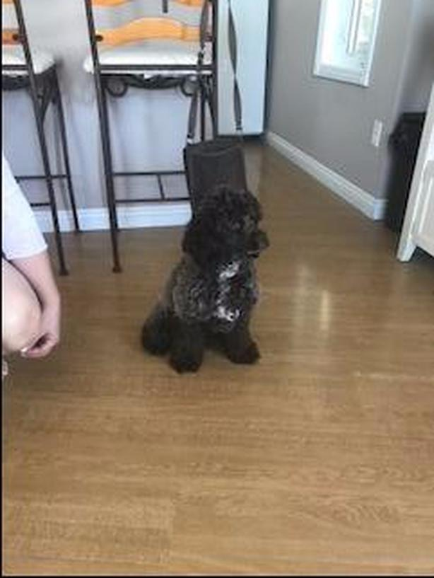 10 month old Female Chocolate Cockapoo Puppy Outside South