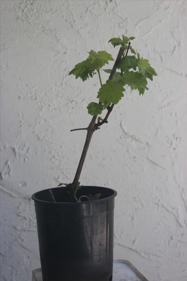 Grape Plant - healthy, strong, ready to plant
