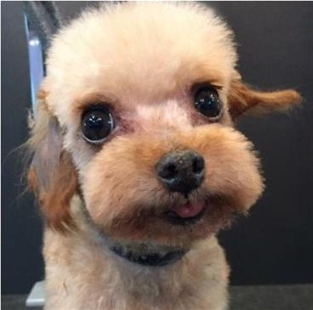 Joey *in Foster Care - Poodle Teacup Dog