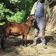 For Sale: Purebred registered Oberhasli goat herd