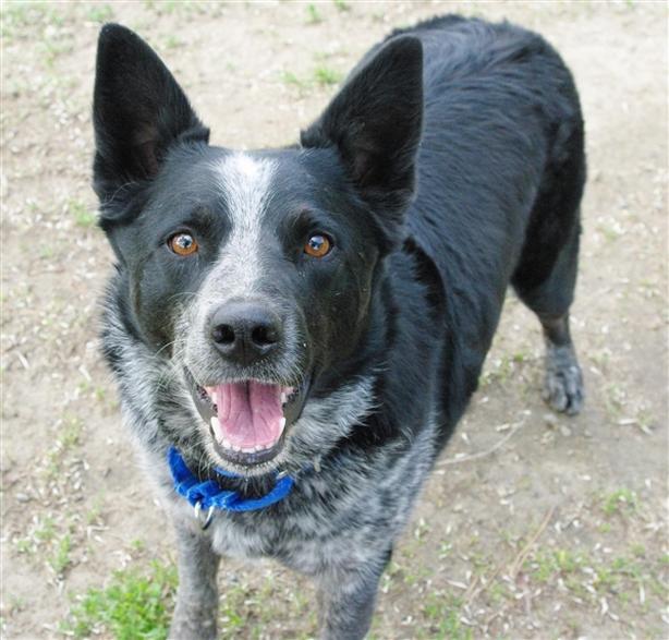 Titan - Australian Cattle Dog/Blue Heeler  Dog