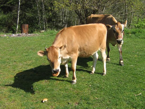 cow share