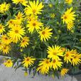 ATTRACTIV COREOPSIS FLOWERING PERENNIAL