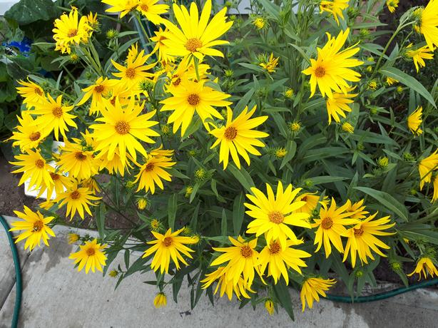 ATTRACTIV COREOPSIS FLOWERING PERENNIAL