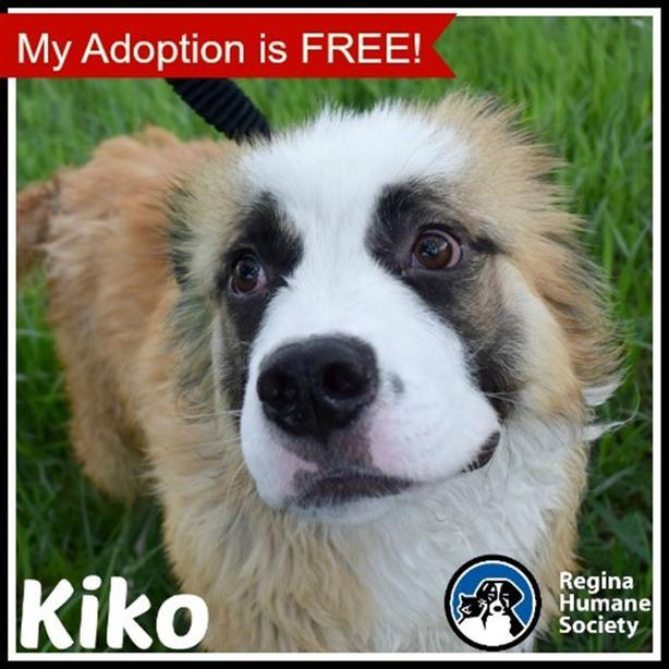 Kiko - Shetland Sheep Dog Dog North Regina, Regina