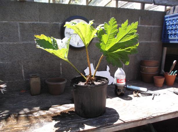 large gunnera plants