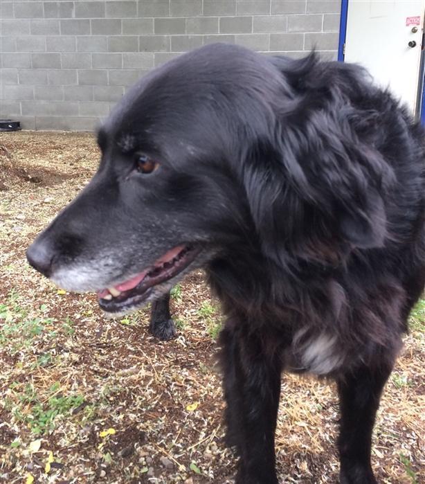 Teaka - Labrador Retriever Dog
